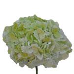 Bulk Hydrangea Giant Lime Green Flower