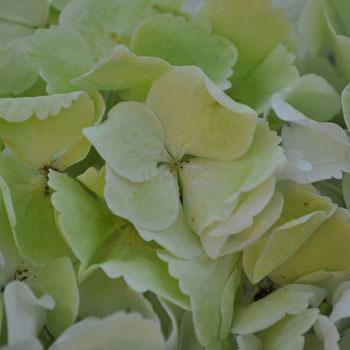 Giant Pale Green Hydrangea Flower