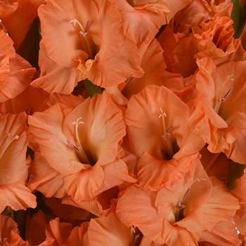 Gladiolus Orange Flower