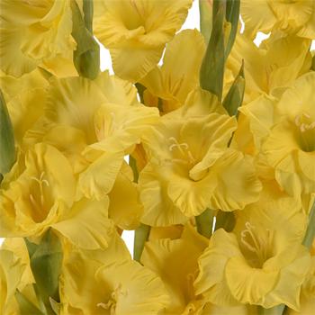 Gladiolus Yellow Flower