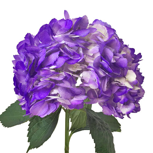 Grape Purple Airbrushed Hydrangea Flower