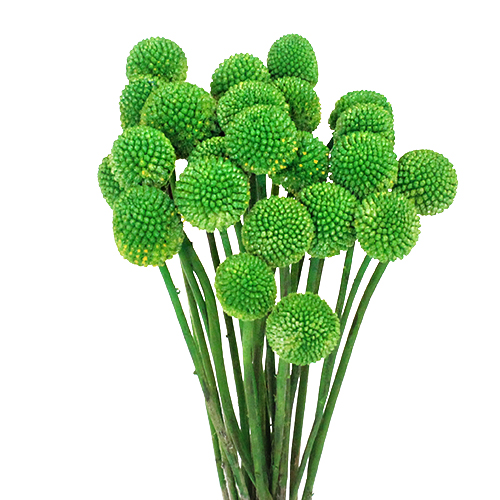 Craspedia Billy Balls Green Flower