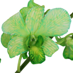 Fresh Cut Dendrobium Dyed Green Orchid Flowers Variety