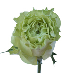 Garden Rose Supergreen Green Flower