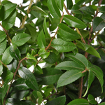 Huckleberry - Buy Bulk FREE SHIPPING!