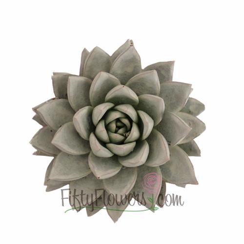 Grey Frost Enhanced Succulent Flower