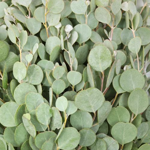 Gum Drop Fresh Cut Eucalyptus