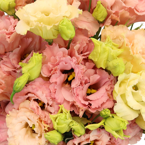 Strawberry Milkshake Lisianthus Flower for October to May Delivery