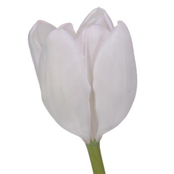 White Bulk Tulips