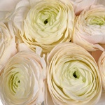Blush Italian Cloony Ranunculus
