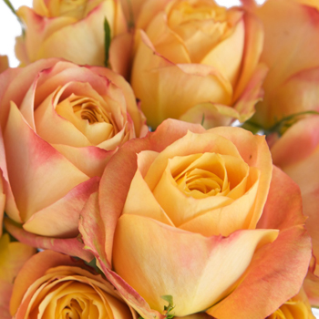 Cabbage Rose Sunset Blended Romantico