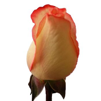 High Pink Rose