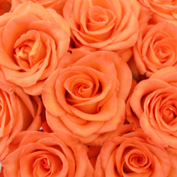 Orange High and Peach Bulk Rose