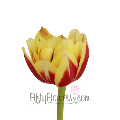Horizon Red Double Tulip