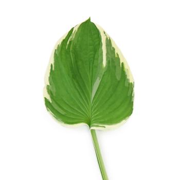 Green Picotee Designer Hosta Leaves