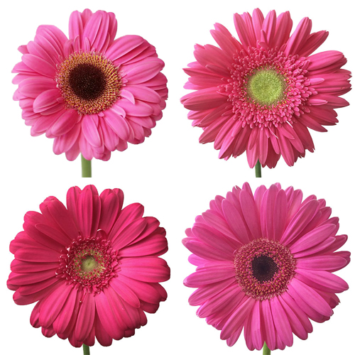 Hot Pink Gerbera Daisy Flower