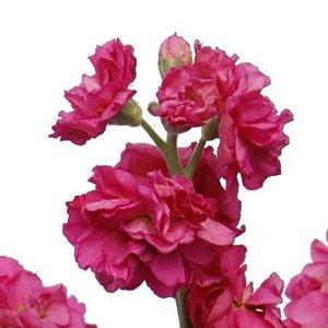 Hot Pink Bulk Spray Stock Flower