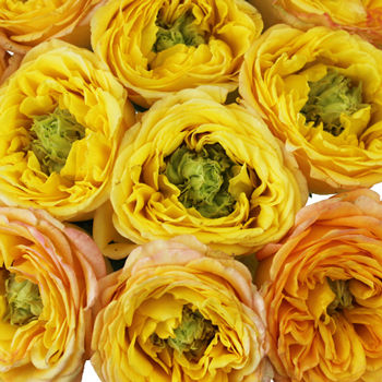 Daybreak Darling Green Eyed Garden Rose
