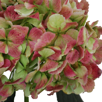 Antique Green Red Hydrangea Extra Large