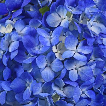 Hydrangea Dark Blue Flower