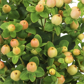 Hypericum Berries Yellow Peach Flower