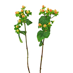 Yellow Hypericum Berry Flowers