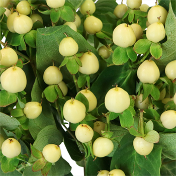 Ivory Designer Hypericum Berries