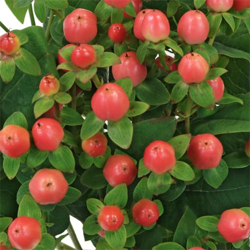 Coral Kissed Hypericum Berries