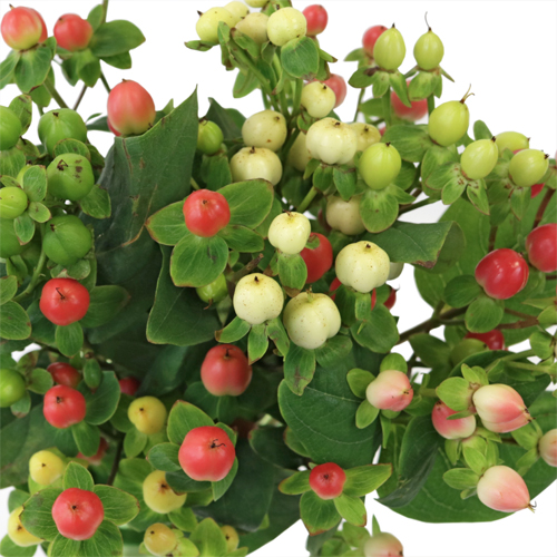 Hypericum Berries Assorted Colors