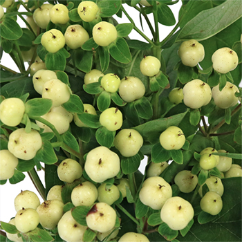 Creamy White Hypericum Berries