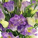 Lisianthus_Cut_Flower_Lavender
