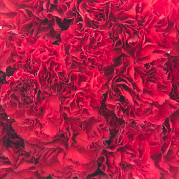 Darling Red Carnation Mix Pack