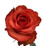 Bulk Rose Dark Orange Dark Milva