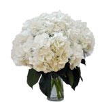 Bulk Hydrangea Giant White Flower