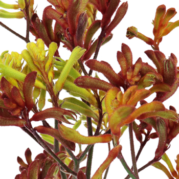 Kangaroo Paw Flower Assorted Colors