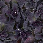 Spray Kale Flower Purple and Green
