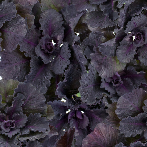 Black Harry Kale