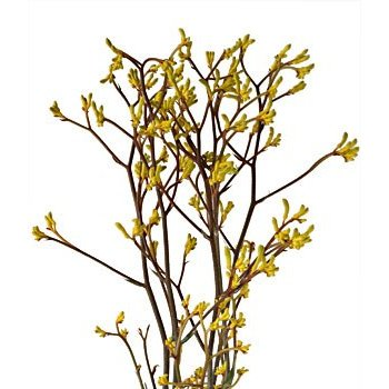 Kangaroo Paw Yellow Flower