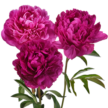 Kansas Peony for April Delivery