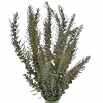 Fresh Greens Acacia