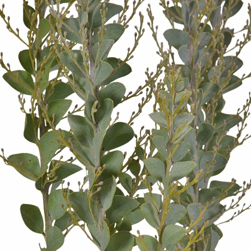 Acacia Wholesale Autumn Greens