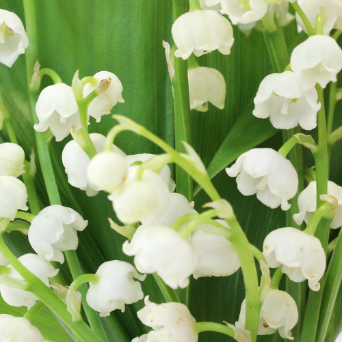 Lily Of The Valley Wedding Flowers: Lily Of The Valley Flower