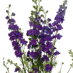 Purple Larkspur Fresh Cut Flower
