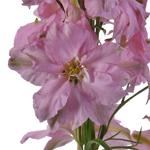 Light Pink Larkspur Fresh Cut Flower