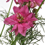 Hot Pink Larkspur Fresh Cut Flower