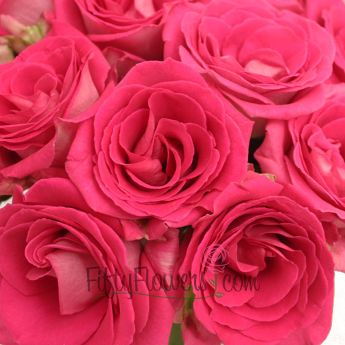 Latin Breeze Hot Pink Rose