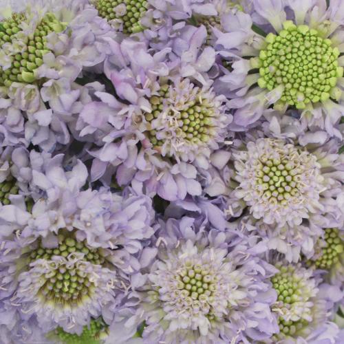 Lavender Blush Scabiosa Flower