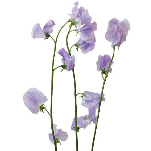 Lavender Designer Japanese Sweet Peas