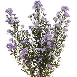 Aster Flowers Lavender