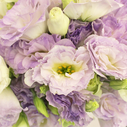 Lavender Mist Lisianthus Flower for October to May Delivery